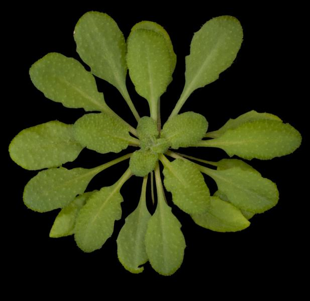 This is Arabidopsis thaliana, a small flowering plant in the mustard family. (Photo: Salk Institute)