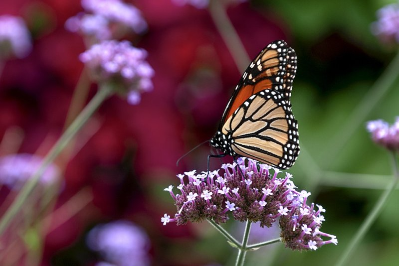 Young monarch butterflies can get stressed out by people handling them, according to a study.
