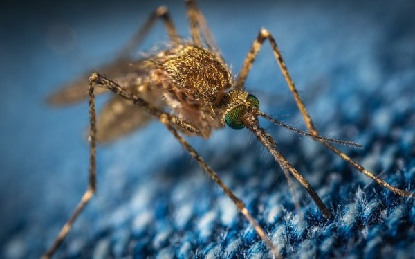 Protein in Mosquito Can Help Develop Treatments Deadly Viruses